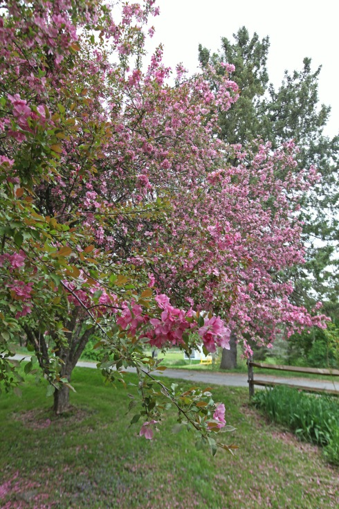 G Forss Crab Apple Tree with yellow fence small file