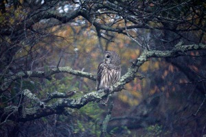 G Forss  The World of the Barred Owl  Plum Beach 2014 small file