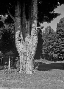 G Forss  Large Oak Tree  165mm copy