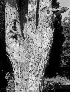 G Forss  Large Oak Tree  2014 copy