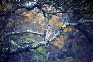 G Forss  The World of the Barred Owl  Plum Beach 2014 P small file