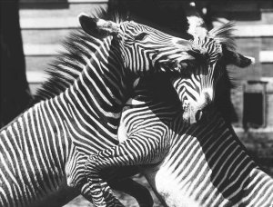 14 G Forss Zebras Bronx Zoo 1978