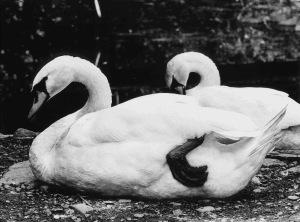 Swans at the Berkshire Bird Sanctuary Adobe fix 2015