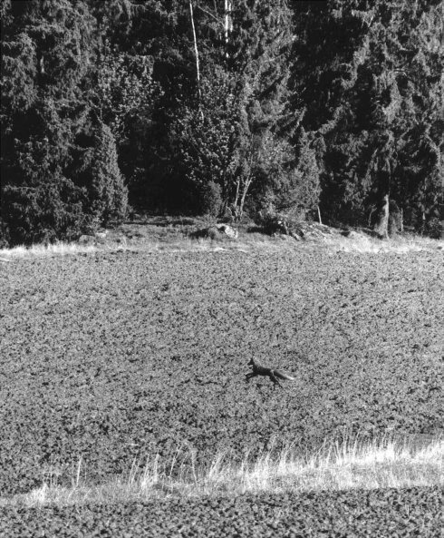 Red Fox in the Field - Finland