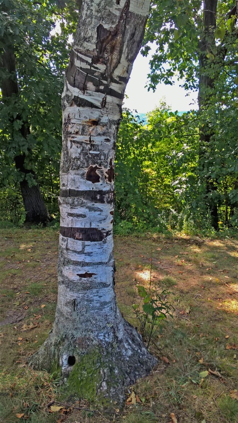 G Forss  Old Birch Tree Trunk  small file.jpg