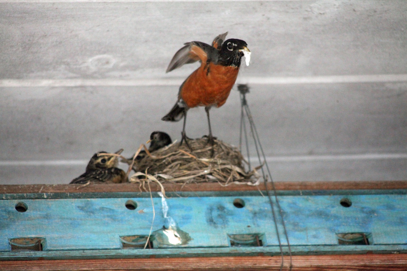 G Forss Robin nesting the chicks 4493 fix 2 small size