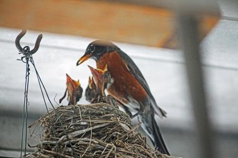 G Forss Robin feeding at the secret nest small file